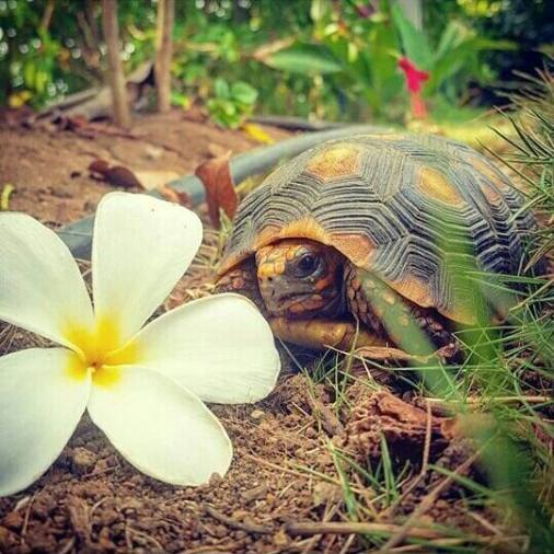 turtleflower